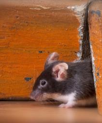 Myš se může vyskytnout v každé domácnosti